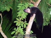 Aye-aye (Daubentonia madagascariensis), near Mananara