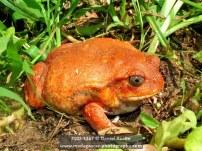 Tomato frog (Dyscophus antongilii), Maroantsetra