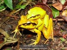 Aglyptodactylus securifer frogs mating, Montagne d'Ambre National Park
