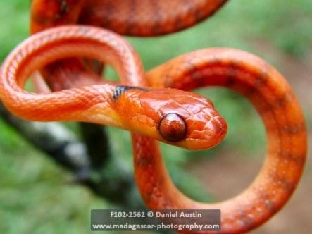 Phisalixella arctifasciatus snake, Montagne d'Ambre National Park