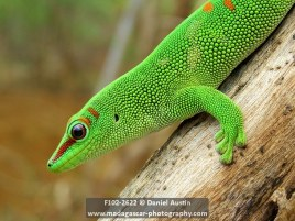 Giant Madagascar day gecko (Phelsuma grandis), Windsor Castle