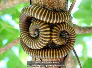 Pair of giant millipedes (Diplopoda), Windsor Castle
