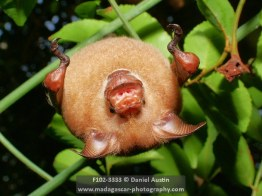 Commerson's leaf-nosed bat (Hipposideros commersoni), Ankarana National Park