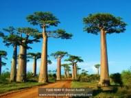 Grandidier's baobabs (Adansonia grandidieri) at Baobab Alley, near Morondava