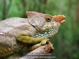 Parson's chameleon (Calumma parsonii), Ialatsara Lemur Forest Camp