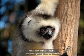 Diademed sifaka (Propithecus diadema), Lemur Island, Andasibe