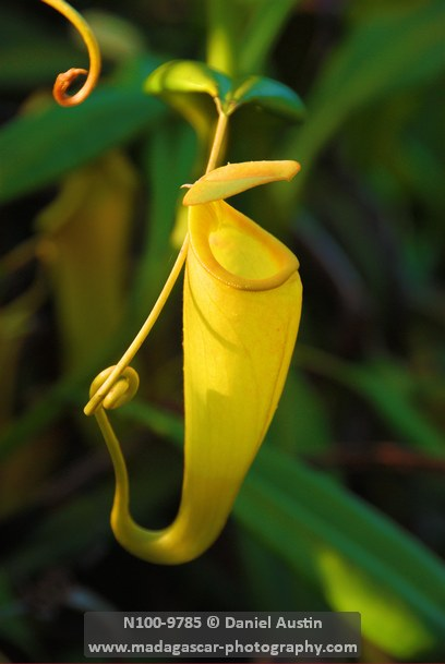 Madagascar pitcher plant (Nepenthes madagascariensis), Ankanin'ny Nofy, Pangalanes Canal