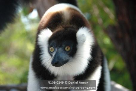 Black-and-white ruffed lemur (Varecia variegata), Ony Park, Pangalanes Canal