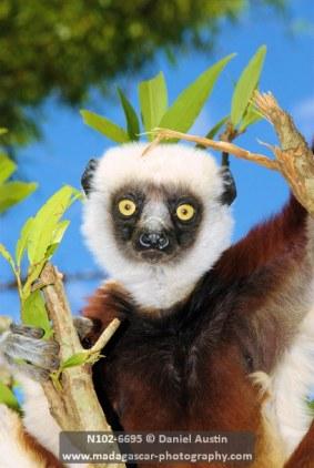 Coquerel's sifaka (Propithecus coquereli), Lemurs Park, west of Antananarivo
