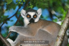 Ring-tailed lemur (Lemur catta), Anja Park