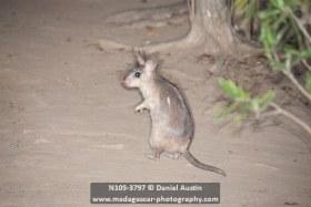 Giant Madagascar jumping rat (Hypogeomys antimena), Kirindy Reserve